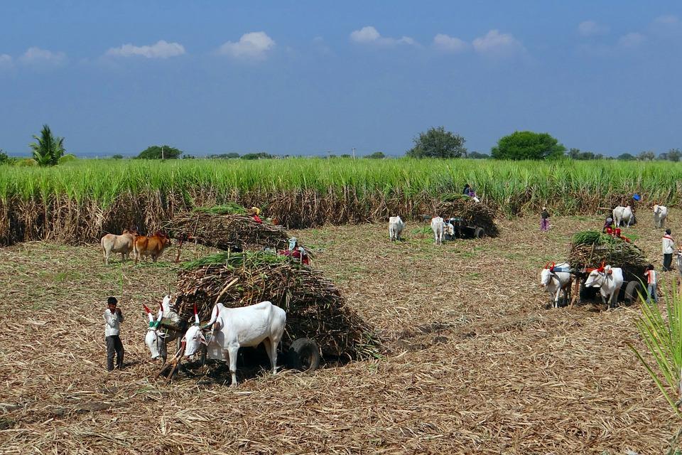 México produce anualmente 5.7 millones de toneladas de azúcar.