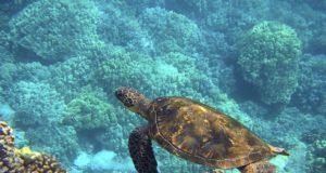 Tortuga queda atrapada entre 800 kilos de cocaína en el Pacífico