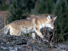 Aumenta avistamiento de coyotes en zonas urbanas de Calgary