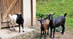 Expanden programa de pastoreo de cabras para el control de maleza