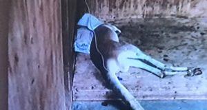 Canguro muere después de que los visitantes del zoológico le arrojaran piedras para hacerlo saltar