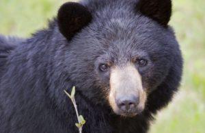 Oso negro obliga a más cierres en el Parque Nacional Banff
