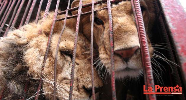 Dos leones fueron decapitados