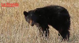 Oso negro podría necesitar ayuda de los grupos de rescate animal