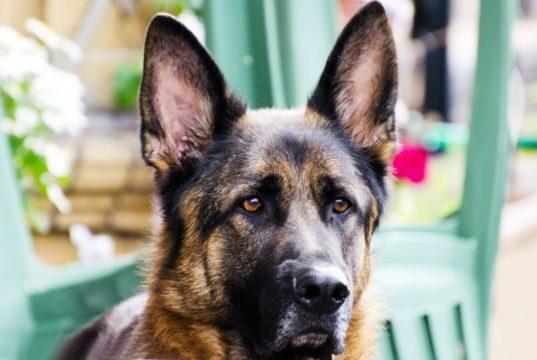 Adolescente será sentenciado por apuñalar al perro de la policía de Calgary