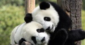 Exhibición de pandas del zoológico de Calgary se inaugurará en mayo