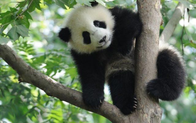 La nueva familia de pandas se adapta muy bien en el Zoológico de Calgary