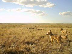 Descubren especie de zorros extintos en Medicine Hat