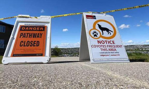 Disminuyen encuentros peligrosos con coyotes gracias a las nuevas medidas tomadas en la ciudad