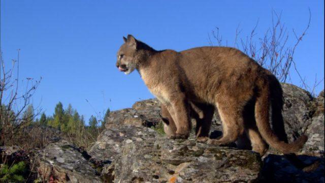 Puma ataca a niño de dos años de edad en un parque de Columbia Británica