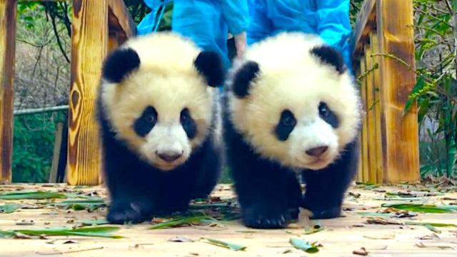 La llegada de pandas al Zoológico de Calgary rompió récord de visitas en 2018