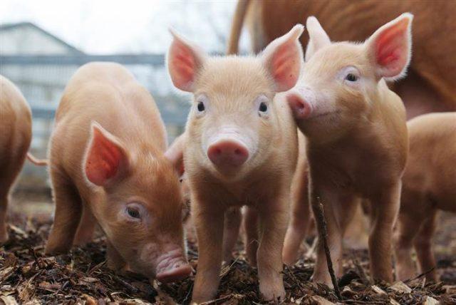 Aparece virus mortal porcino en granjas de Alberta