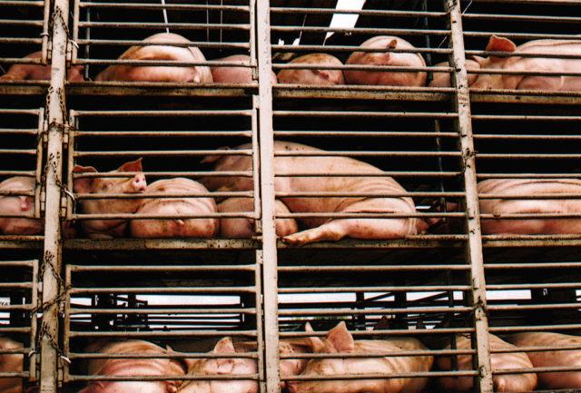 China aumenta inspecciones a las importaciones de carne de cerdo canadiense