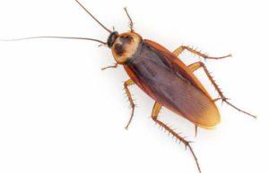 Las cucarachas son cada vez más resistentes a los insecticidas