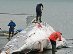 Vuelve la caza de ballenas a Japón